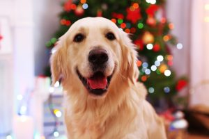 Portrait of Labrador on Christmas tree background